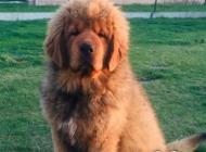 Inzercia psov: Tibetská doga štěňátka...