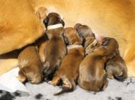 Inzercia psov: Zadám šteniatka Saluki
