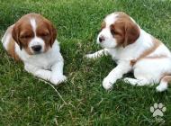 Inzercia psov: PRODÁM ŠTĚŇATA BRETAŇS...