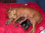 Inzercia psov: Zadáme šteňatá peruáns...