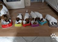 Inzercia psov: šteniatka foxteriéra h...