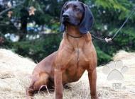 Inzercia psov: Predám šteniatka-Fenky...