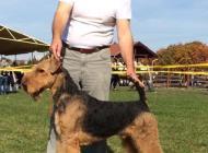Inzercia psov: Airedale teriér šteňa ...