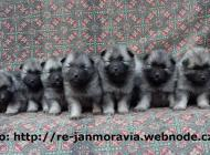 Inzercia psov: Německý špic vlčí / ke...