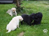 Inzercia psov: Labradorský retrívr - ...