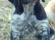 Inzercia psov: Bretaňský ohař - štěně