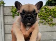 Inzercia psov: Francúzsky buldoček s PP