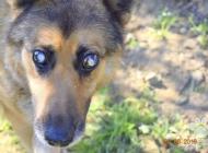Inzercia psov: Slepý Leo