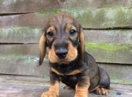 Inzercia psov: Predám šteniatko jazve...