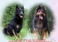 Inzercia psov: Chodský pes, šteniatka...