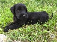 Inzercia psov: Šteniatká velkého bradáča