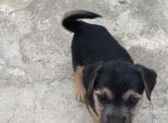 Inzercia psov: Darujem 2 mesačne šten...