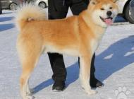 Inzercia psov: AKITA INU na krytie