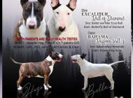 Inzercia psov: Anglický bullterriér