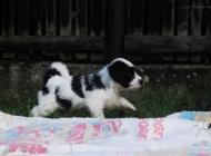 Inzercia psov: Tibetský teriér - štěň...