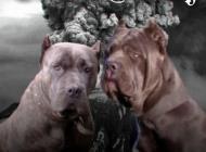 Inzercia psov: Americký bandog