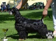 Inzercia psov: Americký kokeršpaniel