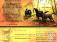 Inzercia psov: Labrador čokoládové št...