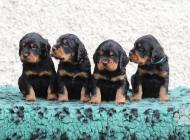 Inzercia psov: Štěňata Gordonsetra s PP