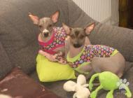Inzercia psov: Nabízím štěňata peruán...