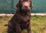 Inzercia psov: Labradorský retriever ...