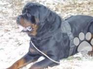 Inzercia psov: Ponúkam na krytie psa ...