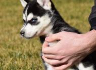Inzercia psov: Husky