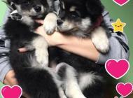 Inzercia psov: Prodám krásná štěňátka...