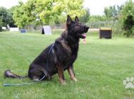 Inzercia psov: Německý ovčák - krycí pes