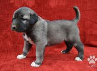 Inzercia psov: Kangal-Kangalský pasti...
