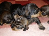 Inzercia psov: Jazvecik hrubosrsty