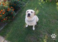 Inzercia psov: Krytie labradora