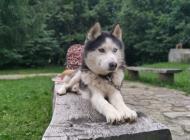 Inzercia psov: Ponúkam psa na krytie