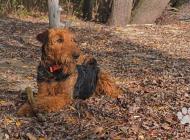 Inzercia psov: Airedale terrier - šte...