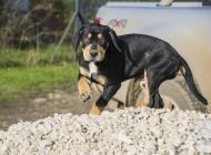 Inzercia psov: Catahoula-Louisianský ...