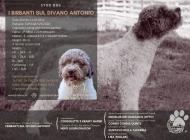 Inzercia psov: Lagotto Romagnolo ke k...
