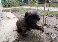 Inzercia psov: šteniatka Leonbergera