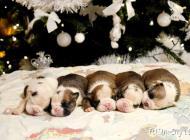Inzercia psov: Anglický bulldog s PP