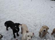 Inzercia psov: Americky stafford