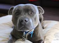 Inzercia psov: Kúpime Stafordšírskeho...