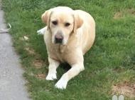 Inzercia psov: Labrador na krytie