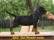 Inzercia psov: Polský poľovný pes/pol...