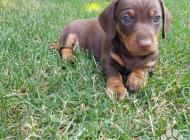 Inzercia psov: Predám nádherné 8 týžd...