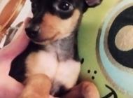 Inzercia psov: Pražský krysařík