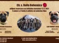 Inzercia psov: Šteniátka Bullmastiff