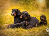 Inzercia psov: Predám šteniatka Slove...