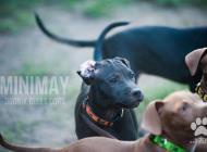 Inzercia psov: Americký Pit Bull Terr...