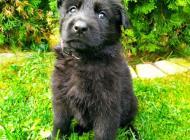 Inzercia psov: Nemecký ovčiak s PP
