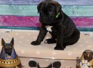 Inzercia psov: prodám štěňata Cane Co...