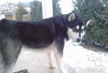Inzercia psov: Aljašský Malamut - krytie